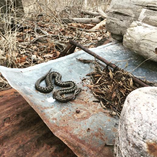 Kyykäärmeet tontilla